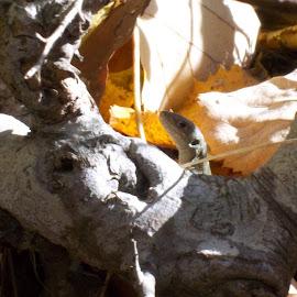 Гущер by Georgi Kolev - Animals Reptiles ( миг., ден., слънчев., време., тишина. )