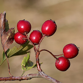 Hawthorn Berries by Chrissie Barrow - Nature Up Close Other Natural Objects ( wild, red, nature, twig, hawthorn, bush, leaf, bokeh, spherical, closeup, berries )
