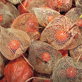 Physalis by Ognjen Weinacht - Nature Up Close Gardens & Produce ( nature, nature close up )
