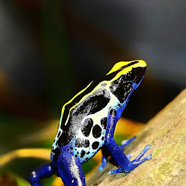 The frog by Gérard CHATENET - Animals Amphibians