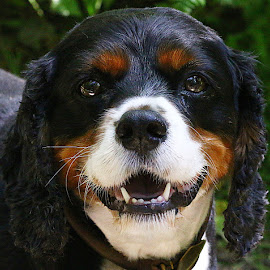 Happy Jack by Chrissie Barrow - Animals - Dogs Portraits ( mouth, white, teeth, portrait, eyes, pet, ears, fur, cavalier king charles spaniel, dog, nose, tan, black )