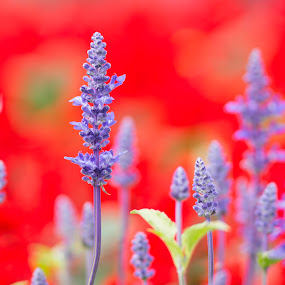 Purple over Red by Anthony Lau - Nature Up Close Flowers - 2011-2013 ( nature, hong kong flower show 2013, lavender, flower )