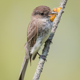 Eastern Phoebe  by Rico Forlini - Animals Birds ( bird, butterfly, nature, circle of life, wildlife, moth, eastern phoebe )