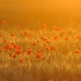 romantic field by Darko Dozet - Landscapes Prairies, Meadows & Fields ( field, serbia, flowers )
