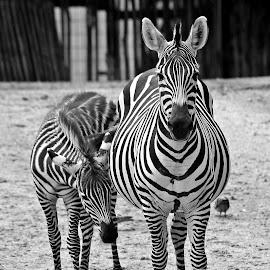zebras by Carola Mellentin - Black & White Animals