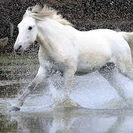 Ass Whooping about to be served by Gary Odell - Animals Horses ( water, nature, wildlife, wild horses )