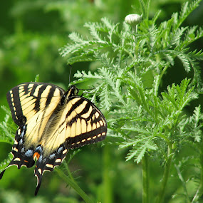 Tiger Swallowtail by Dorothy Koval - Animals Insects & Spiders ( tiger swallowtail, flying, pwcinsectsandspiders, butterfly, green leaves, nectar, seeking, spring )