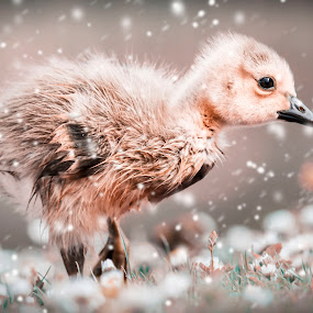 Gosling in the snow by Malcolm Hare - Digital Art Animals (  )