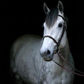 Voltage by Emma Reeves - Animals Horses ( black background, irish sport horse, equine, horses, emma rose photography )