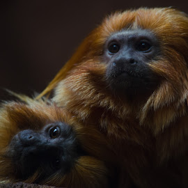 King and his Queen by Mark Halliday - Animals Other Mammals ( low key, nature close up, couple, primate, monkey )