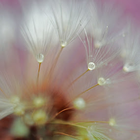 Dandelion at dawn by JoAnn Palmer - Nature Up Close Other plants ( seed pod, dandelion, moisture, dew, drops, fluff, seeds, droplets )