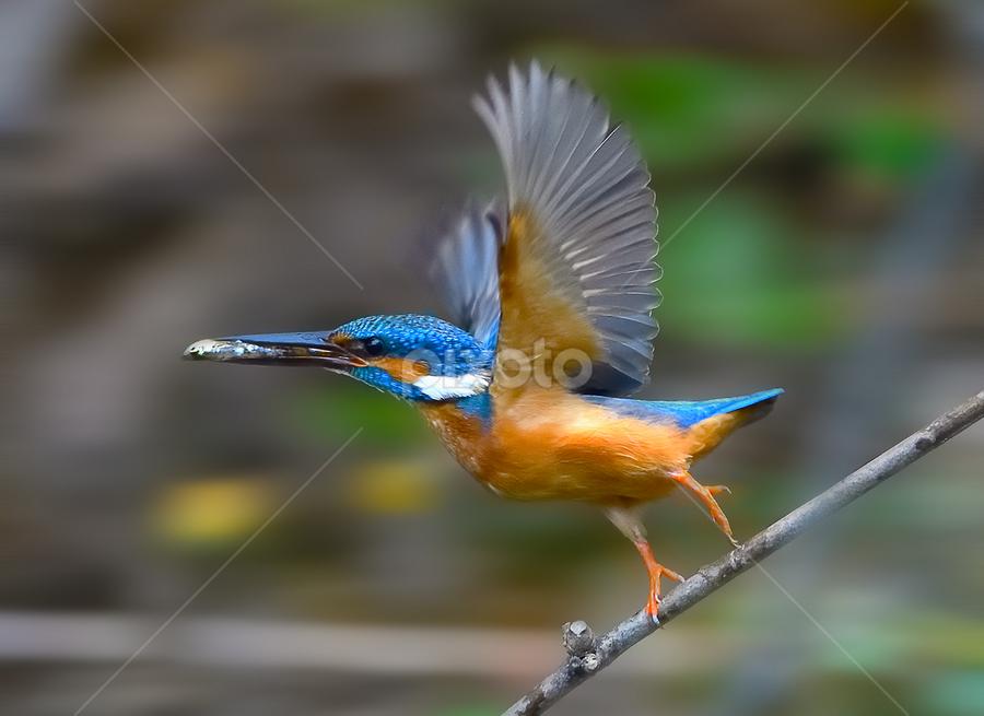 Run with the catch.... by Chandra Mouli Roy Chowdhury - Animals Birds