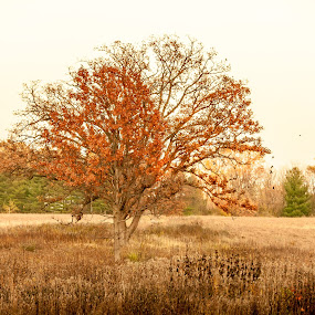 Alone by Relu Jianu - Landscapes Prairies, Meadows & Fields ( green pine trees, tree, fall, leaves, alone, colors. moraine park red )