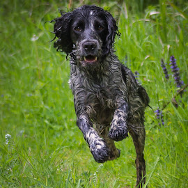Boundless Energy by Keith Griffiths - Animals - Dogs Running ( spaniel, pet, dog, running, woods, cocker )