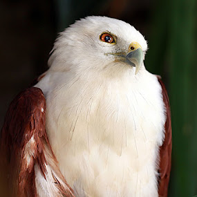 B ABY EAGLE by Arif Otto - Animals Birds