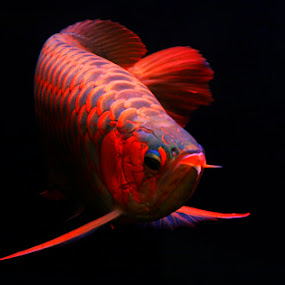 Super Red by Anif Putramijaya - Animals Fish