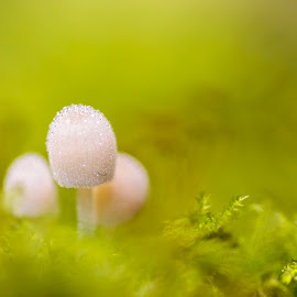 Sparkle mushroom by Diana de Vries - Nature Up Close Mushrooms & Fungi ( water, mushroom, macro, nature, green, drops )