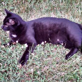 my spock by Amanda Burton - Animals - Cats Portraits ( cat,  )
