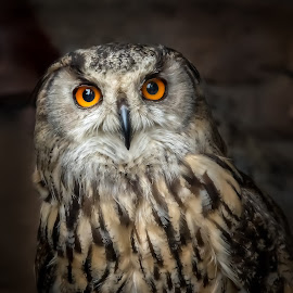 Owl by John Finch - Animals Birds ( owl, nature, eagle owl, feathers, scotland owls, owls, birds, eyes, wildlife, scotland,  )