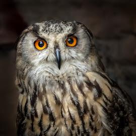 Owl by John Finch - Animals Birds ( owl, nature, owls, birds, short eared owl, wildlife )