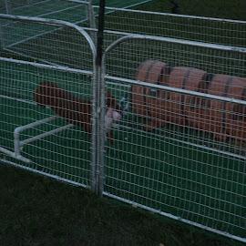 by Thomas Fitzrandolph - Animals - Dogs Running ( dogs, fairs, niagara county, dogs running, nikon d5200, lockport ny )
