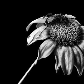 Black Bug by Ana Paula Filipe - Black & White Flowers & Plants ( single, b&w, bug, flower, close )