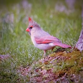 Female Cardinal by Sue Delia - Animals Birds ( bird, cardinal, female cardinal,  )