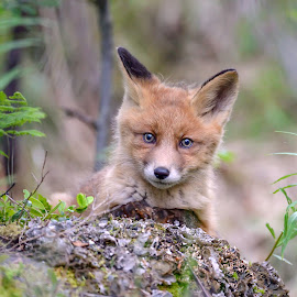 Red fox cub by Marius Birkeland - Animals Other Mammals ( fox, nature, fur, cub, animal )