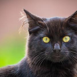 Mowat III by Richard Duerksen - Animals - Cats Portraits ( cat, yellow eyes, hastings, new zealand, portrait, black )