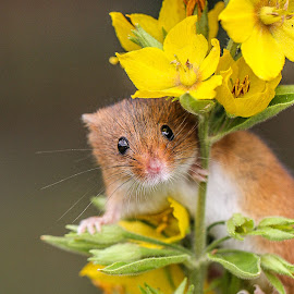 Mouse by Garry Chisholm - Animals Other Mammals ( mouse, nature, harvest, rodent )