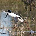 Black-necked Stork (female)