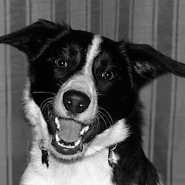 Happy Girl by Chrissie Barrow - Black & White Animals ( monochrome, border collie, black and white, mouth, pet, fur, ears, dog, mono, nose, portrait, eyes, animal )