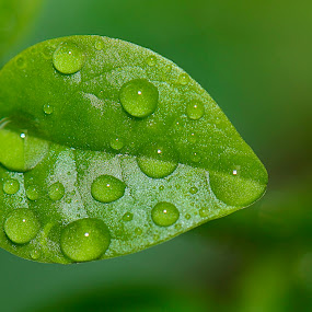 Pearl on top by Priyank Jha - Nature Up Close Leaves & Grasses ( nikon d5100, nature, water droplet, india, leaf, nikon sb700 )