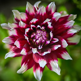 Purple'n White by Marco Bertamé - Flowers Single Flower ( purple, petals, green, white, summer, bloom, dahlia,  )