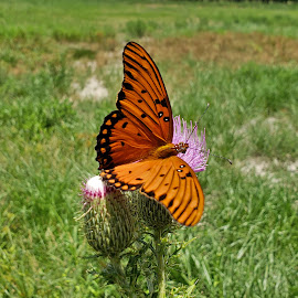 Gulf Fritillary on Texas Thistle 3 by Colin Toone - Instagram & Mobile Android ( orange, butterfly, purple, texas, flower )