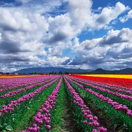 Tulip field  by Lance Nguyen - Landscapes Travel