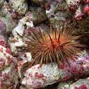 Common Arbacia Urchin