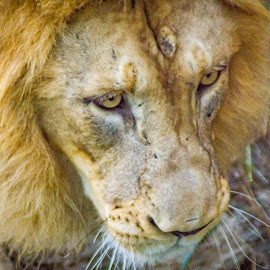 What a Sad Look by Pat Lasley - Animals Lions, Tigers & Big Cats ( big cat, lion, zoo, mammal, animal )