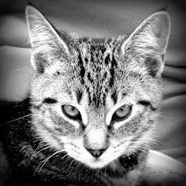 I will be King one day by Janine Kain - Animals - Cats Kittens ( cat, kitten, monochrome, pet, stare, whiskers, fekine, portrait, black&white )