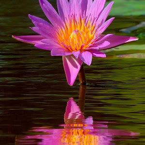 Lotus reflection Sept 3.jpg