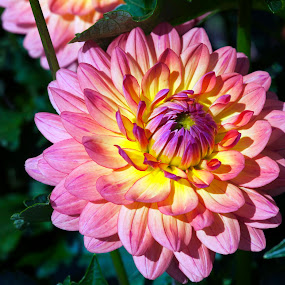 Pink and Yellow Dahlia by Kelvin Watkins - Nature Up Close Flowers - 2011-2013 ( bright, green, pink, yellow, cheerful, dahlia, flower )