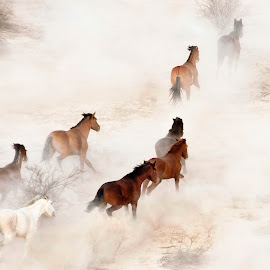 Wild Mustangs 1 by Dale Kesel - Animals Horses ( ultralight plane, desert, mustangs, horses, arizona, wildlife, aerial, stampeding horses, wild mustangs, native american, stampede, gila river reservation )