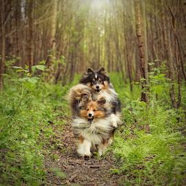 by Jane Bjerkli - Animals - Dogs Running ( expression, animals, wood, shetland sheepdogs, green )