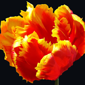 Parrot Tulip-2 by June Morris - Nature Up Close Flowers - 2011-2013 ( nature, tulip, parrot, plants, flowers, landscape,  )