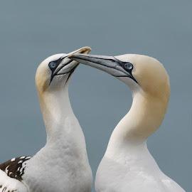 Courtship by Marina Papas - Animals Birds ( love, gannets, animals, nature, wildlife photography, birds, courtship,  )