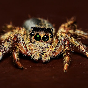jumping spider 2 by Nunsyinrayakaf Ainzalmimya - Animals Insects & Spiders