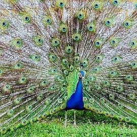 Pavão by Helena Loução - Instagram & Mobile Android ( cores, passaros, pavao, aves )