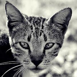 Seeking by Dian Didod - Animals - Cats Portraits