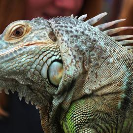 Green Iguana by Gareth Dickin - Animals Reptiles ( spines, lizard, scales, green, iguana, reptile, eye )