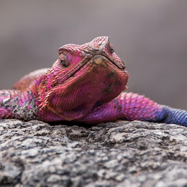 Spiderman by Ilan Abiri - Animals Reptiles ( lizard, nature, serengeti, colors, beautiful, safari, wildlife, travel, africa, tanzania, animal )